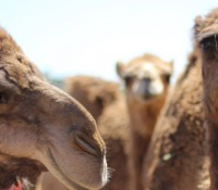 Everything You Always Wanted to Know About Camels and Camels Milk…But Were Too Afraid to Ask!