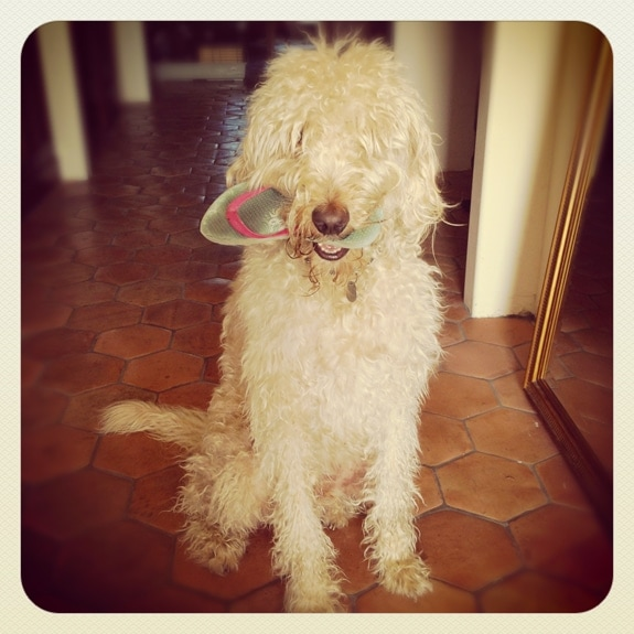 dog with flip flop in mouth