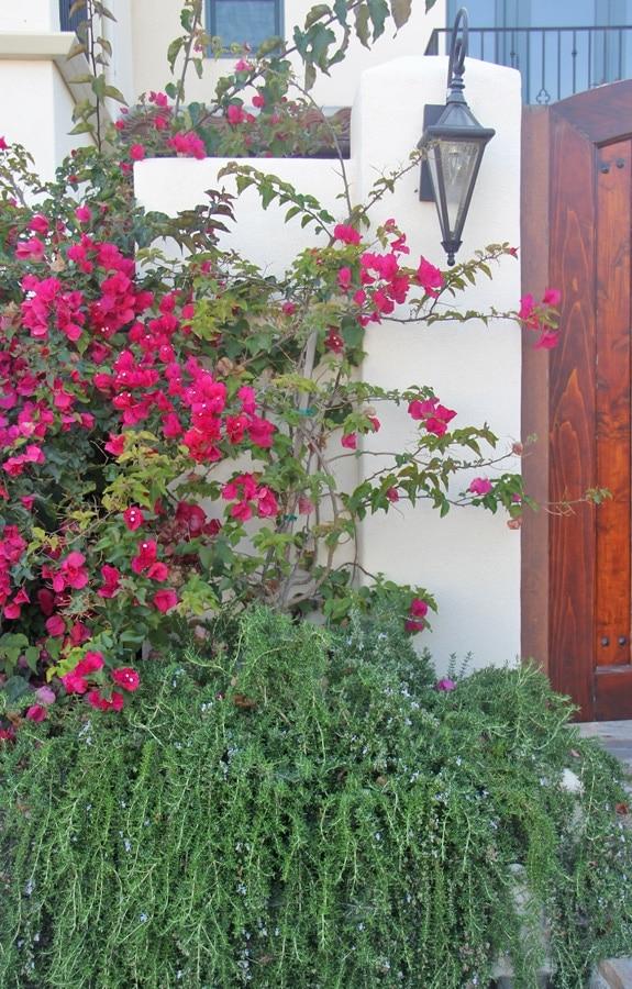 rosemary and bougainvilla