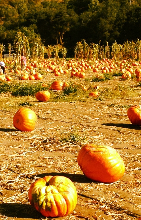 Bate's Nut Farm Pumpkin Patch