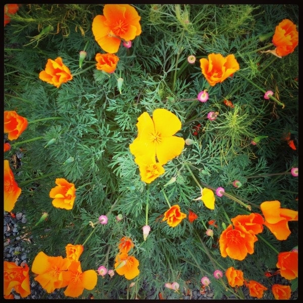 California Poppies//The Spicy RD