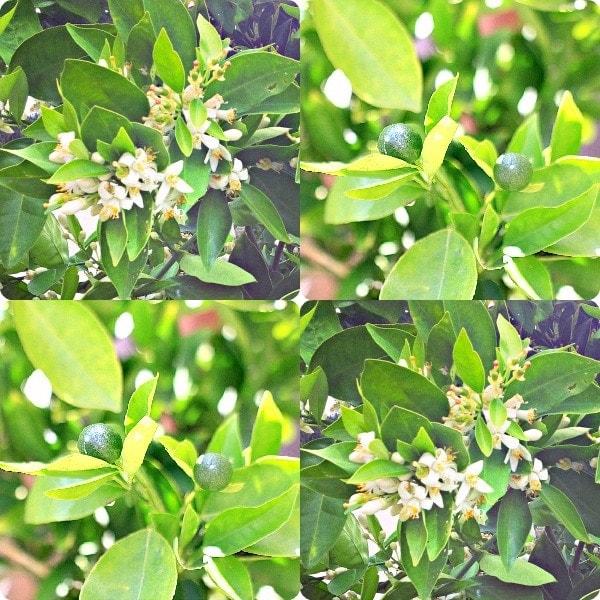 Orange Blossoms & Mini Oranges // The Spicy RD