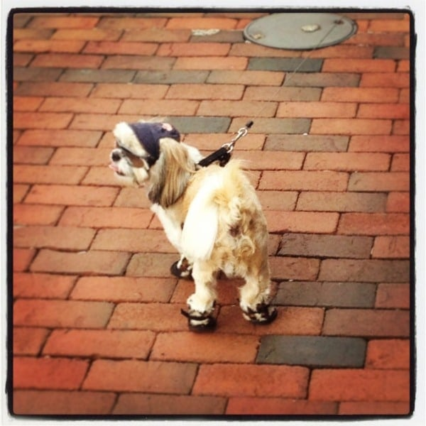 Dog wearing shoes DC // The Spicy RD