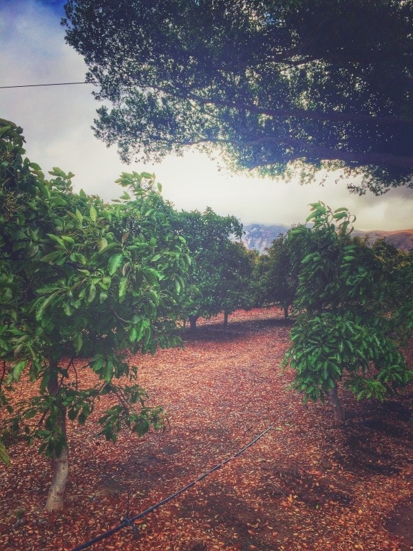 Happiness in hanging out in a California Avocado grove!