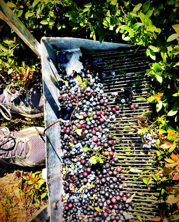 Happiness is raking wild blueberries fresh from the field in Maine! #sponsoredtravel