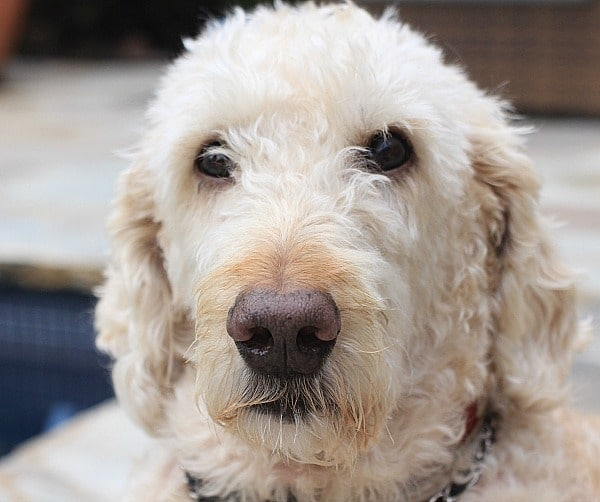 Harry the Labradoodle
