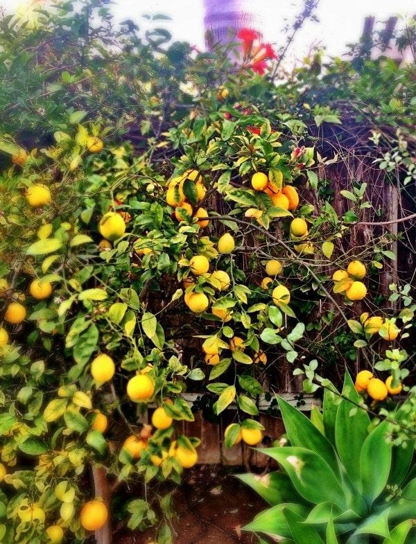 Happiness is having a lemon tree!