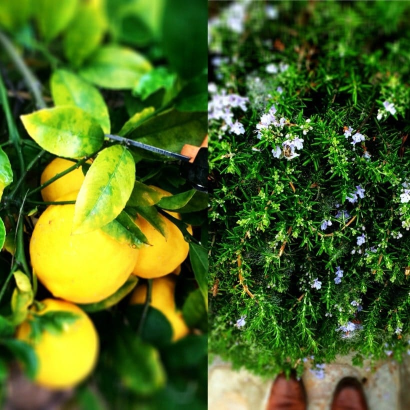 Fresh Lemons and Rosemary   Spicy RD Nutrition
