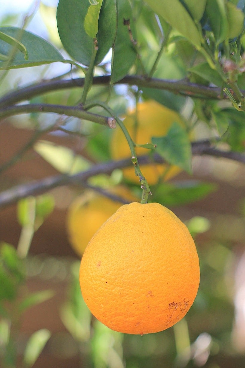 Happiness is drinking fresh squeezed orange juice, straight from the tree!