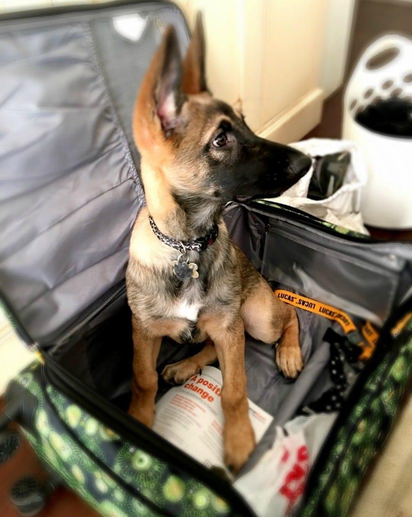 Cute Puppy in a Suitcase | Belgian Malinois German Shepard Mix