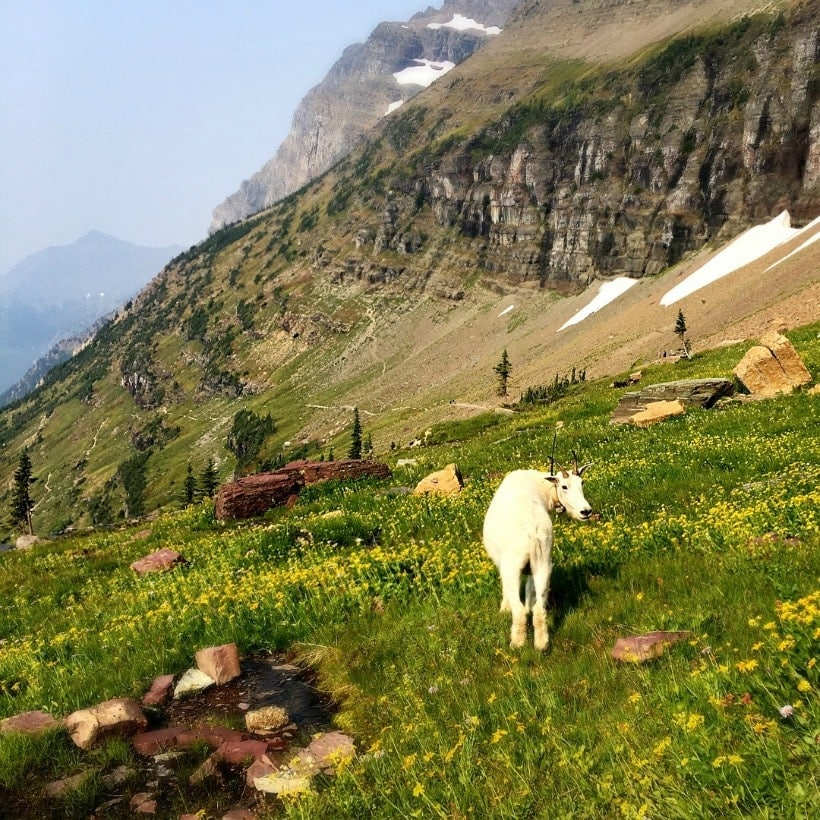 Happiness is hanging out with Mountain Goats at Glacier National Park in Montana!